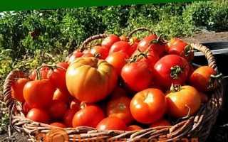 Коли і як висаджувати розсаду помідор у відкритий грунт