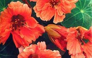 Все про садовому квітці настурції в ландшафтному дизайні + відео
