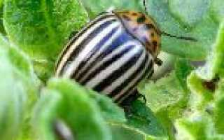 Препарати проти колорадського жука — огляд популярних засобів
