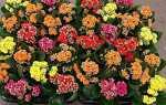 Каланхое квітучий — догляд в домашніх умовах, розмноження, пересадка + відео