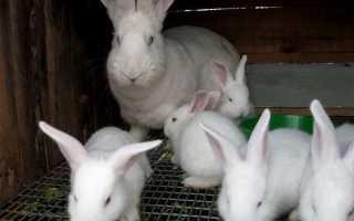 Кролі — вибір і розведення кроликів м'ясної породи, відео