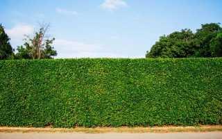 5 кращих рослин для створення живоплотів, що захищають від пилу. Види. Сорти. Опис. Особливості посадки. фото