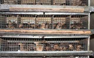 Птахівництво — утримання дорослих перепелів, відео
