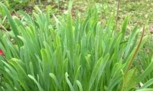 Лук слизун — вирощування, догляд, корисні властивості