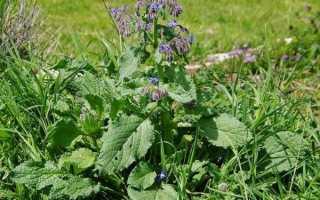 Огіркова трава — характеристика рослини, корисні властивості, відео