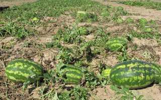 Як садити і вирощувати кавуни в відкритому грунті і теплиці по весні 2019 го року: правила догляду і оптимальні терміни посіву |
