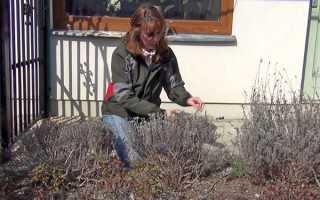 Весняна обрізка лаванди щоб добитися хорошого цвітіння, відео