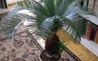 Сагова пальма цикас — догляд вдома, освітлення, грунт, горщик, відео