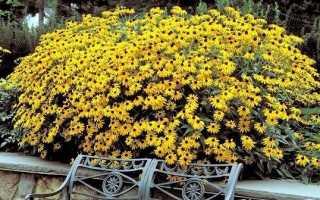 Рудбекия квітка. Вирощування рудбекии. Догляд за рудбекія