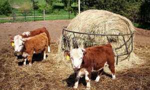 Карликові тварини на фермі — корови, бики, вівці, коні, кури, тонкощі розведення, відео