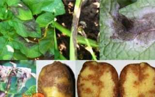 Хвороби картоплі: фото, опис, способи лікування