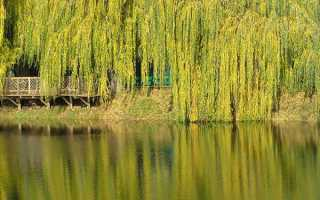 Плакуча верба — фото декоративного, карликового дерева, опис, посадка і догляд, відео