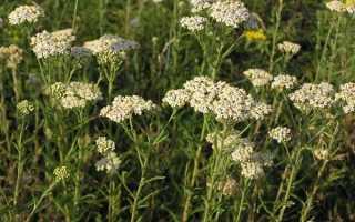 Лікарські рослини — деревій звичайний, опис, відео