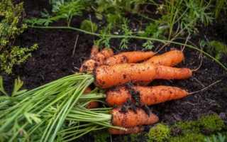 Морква Шантане: опис сорту, рекомендації по вирощуванню