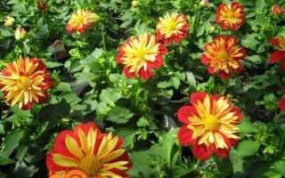 Жоржини однорічні — вирощування з насіння, коли садити. Догляд. Сорти з фото