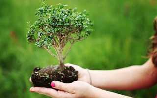Бонсай дерево — як виростити в домашніх умовах з насіння, догляд, грунт, відео