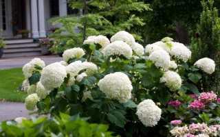 Догляд за гротензіямі навесні — чим підгодувати для цвітіння?