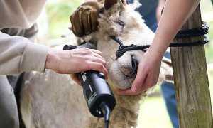 Машинка для стрижки овець — моделі російського і зарубіжного виробництва, стрижка овець для початківців, відео