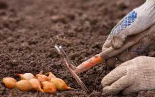 Посадка цибулі севка під зиму