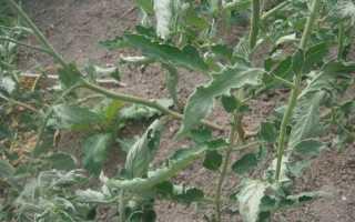 Чому у помідорів скручуються листя?