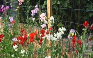 Як виростити запашний горошок: посів на розсаду, догляд, відео
