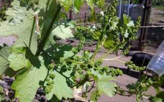 Обробка винограду навесні [кращі препарати] Коли проводити
