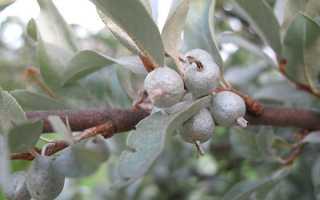 Корисні властивості лоха сріблястого, застосування ягід, меду, відео