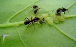 Мурахи — комахи-шкідники, способи боротьби, відео