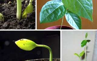 Хурма з кісточки — як посадити насіннячко, правила догляду, відео