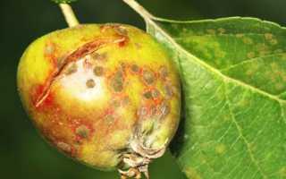 Як боротися з паршею на деревах, кущах і овочевих рослинах