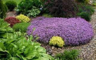 Вирощування чебрецю в саду, особливості посадки і догляду, відео