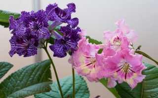 Стрептокарпус — тривале цвітіння при мінімальному догляді. Види, догляд в кімнатних умовах, фото