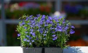 Як посадити лобелію на розсаду правильно Фото Відео Догляд за розсадою