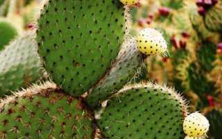 Корисні властивості кактуса, застосування в медицині, рецепти, відео