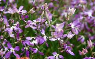 Матіола — вирощування з насіння, коли садити на розсаду. Сорти з фото
