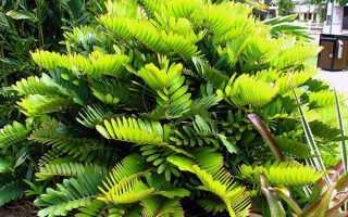 Замія — кімнатна рослина, догляд в домашніх умовах, фото, відео