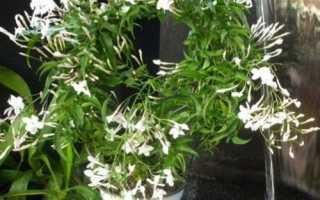 Жасмин поліантум: особливості догляду за квіткою в домашніх умовах, відео