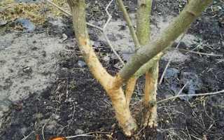 Миші погризли яблуню, що робити, як врятувати дерево, захист від мишей