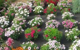Гвоздика Шабо — вирощування з насіння, коли садити розсаду. Сорти.