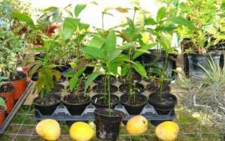 Як виростити манго: нюанси пророщування, посадки кісточки, відео