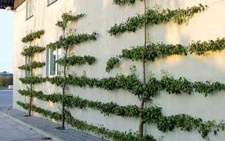 Вирощування фруктових дерев на шпалерах, поради, рекомендації, відео