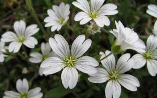 Ясколка повстяна квітка. Опис, особливості, види і догляд за ясколки повстяної