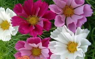 Космея — вирощування з насіння, коли садити. Види і сорти з фото. Посадка і догляд у відкритому грунті