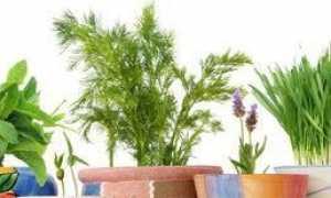 Що можна виростити на підвіконні взимку: зелень, цибулю, овочі, мандарини