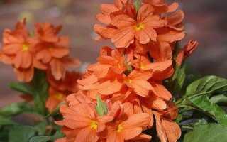 Кроссандра квітка. Вирощування кроссандра. Догляд за кроссандра