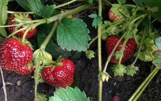 Суниця Любаша ремонтантная великоплідна — опис сорту, вирощування з насіння, відео