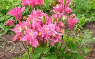 Аквілегія, вирощування з насіння, коли садити. Посадка і догляд. сорти