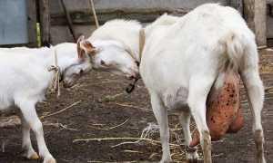 Містить у кози — лікування в домашніх умовах народними засобами, як лікувати після окоту, причини і ознаки захворювання, відео