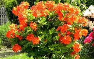 Азалія крупноквіткова листопадна — сорти, особливості вирощування, відео