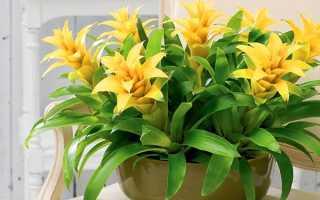 Квітка гузмания — що означає і що приносить в будинок кімнатна рослина гусманія, відео